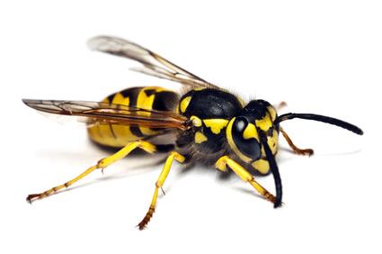 greifen hornissen wespen an